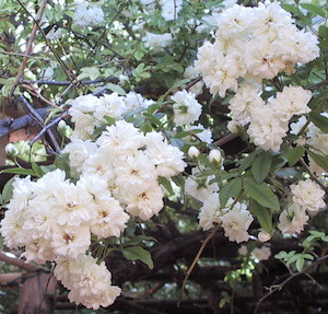 White lady banksia rose rose tree museum rose cluster mightylinksfo