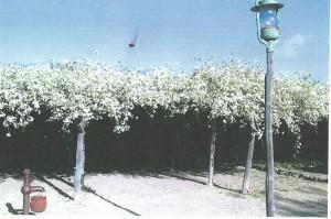 Rose Tree 1970