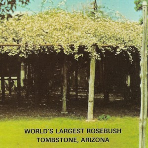 Rose Tree Postcard
