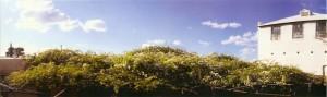 Rose Tree top panorama