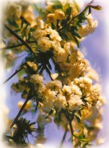 Rose cluster close up